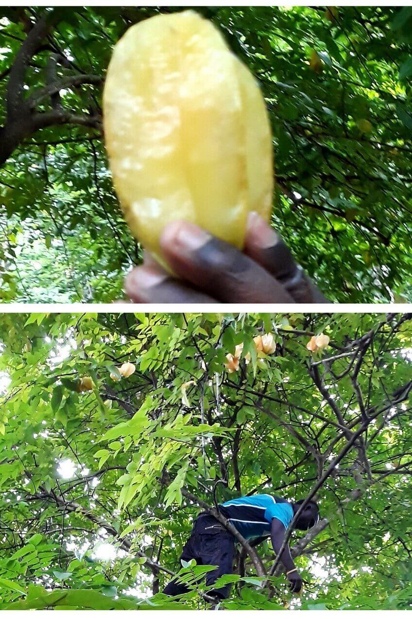 Star fruit, Zanzibar Jambo farm Dole