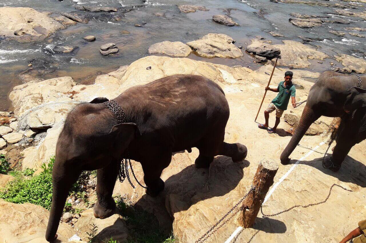 Elephants in chains, Sri Lanka