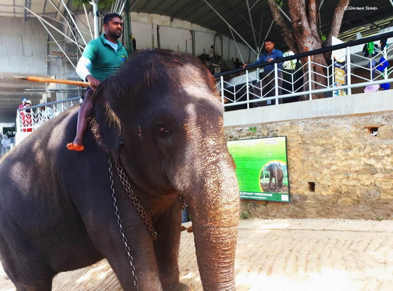 The amazing elephant, Pinnawala