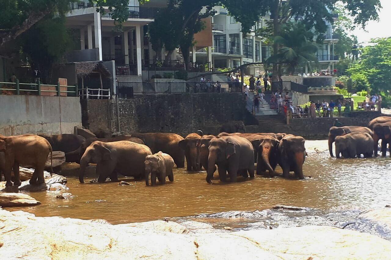 One baby elephant and adults elephants, Pinawala orphanage