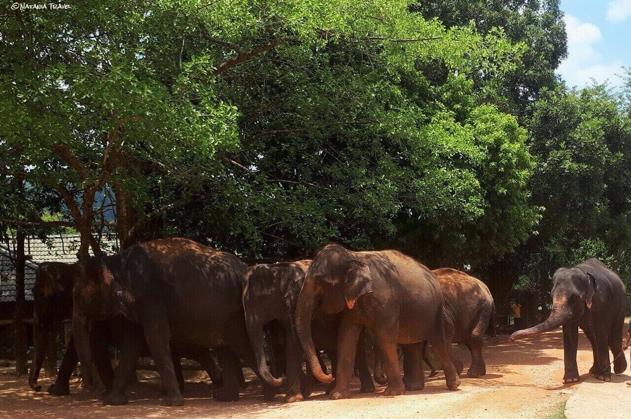 Elephant herd, Pinnawala