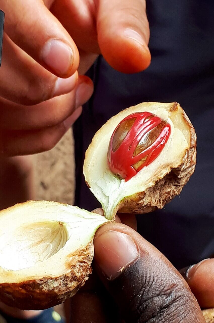Nutmeg and mace spices, Zanzibar