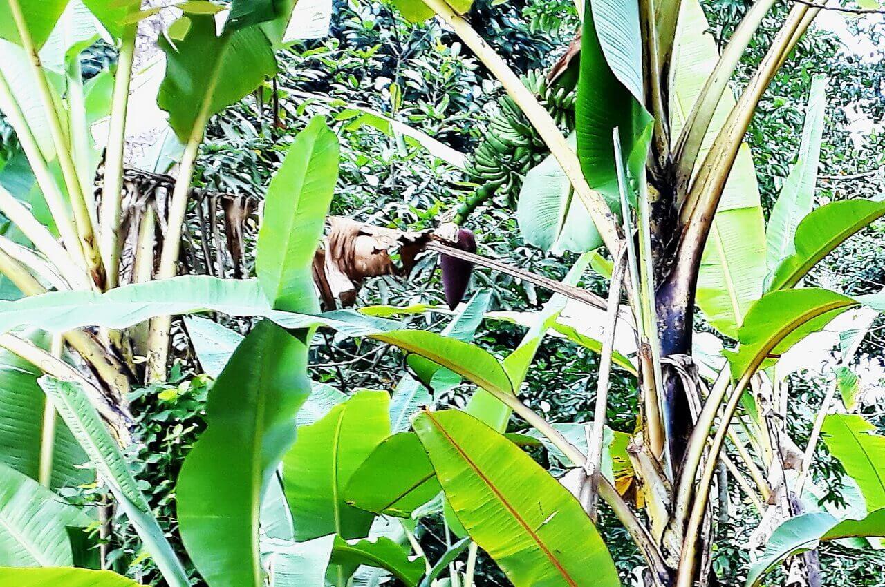 Banana tree, Zanzibar