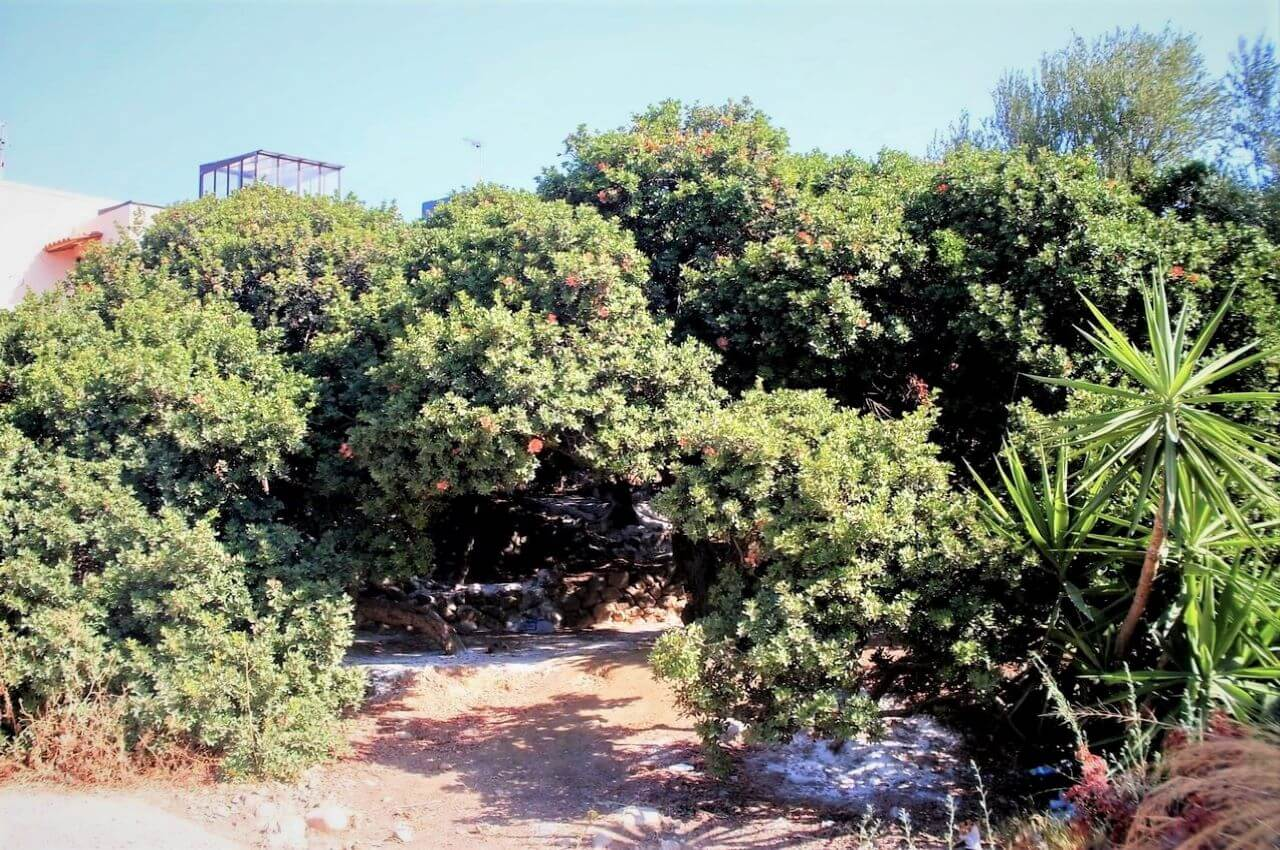 Chios , Armolia village, mastiha trees
