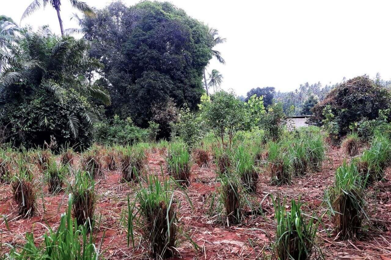 Lemongrass, Jambo Spice Farm Dole