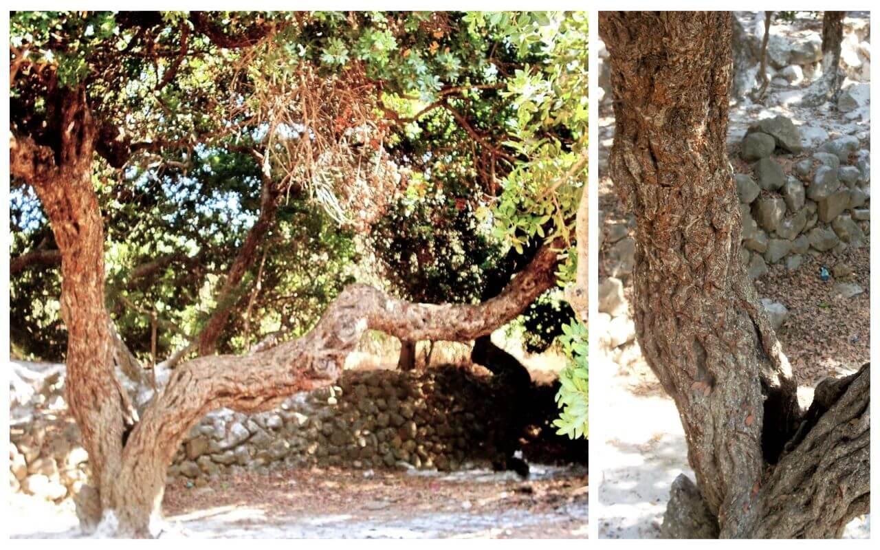 Mastiha tree, Chios Island