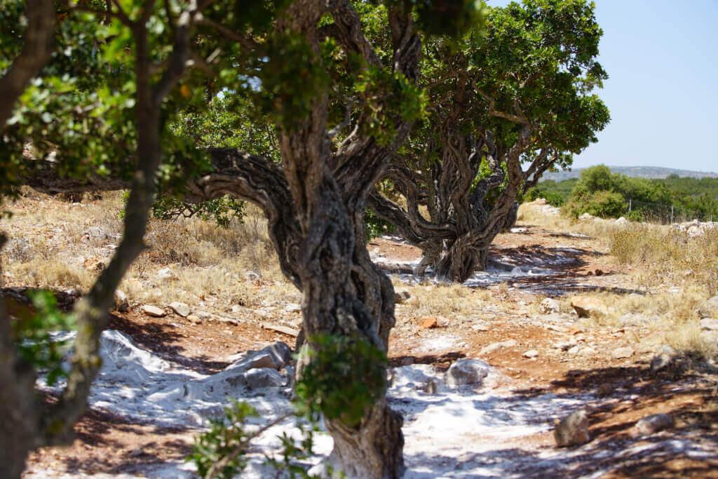 Mastiha trees, Chios island, photo: Mastiha Experience