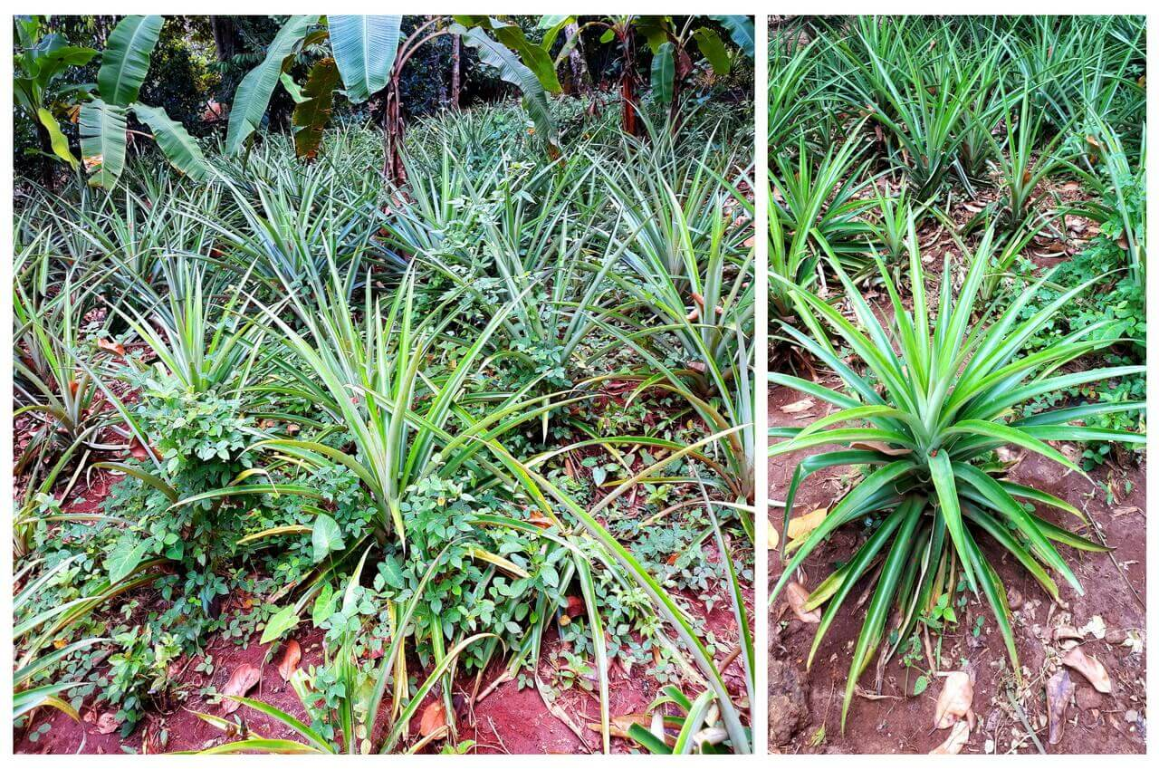 Pineapple plant, spice farm