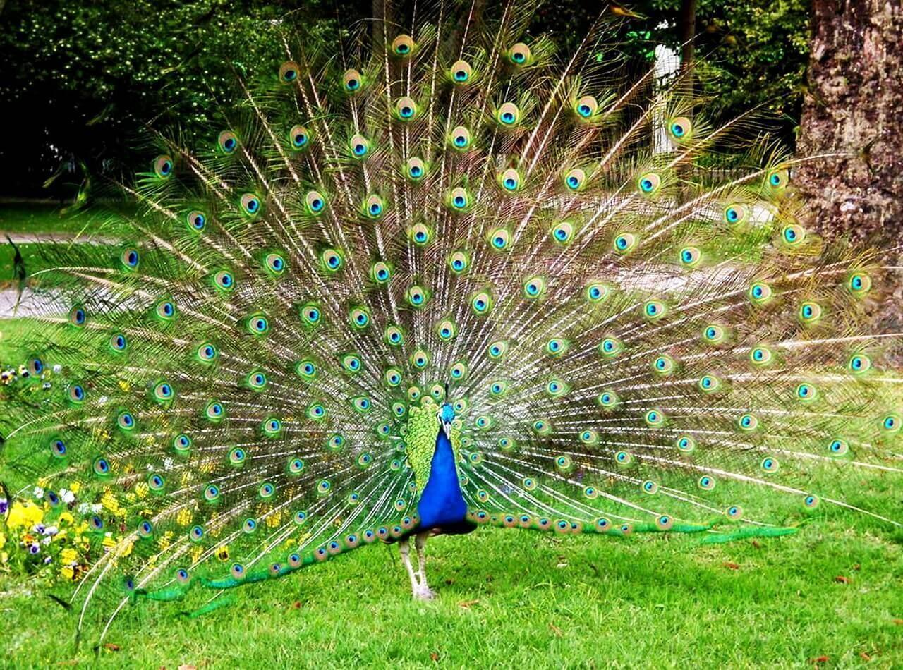 The peacock in Jardin Palacio do Cristal, Porto