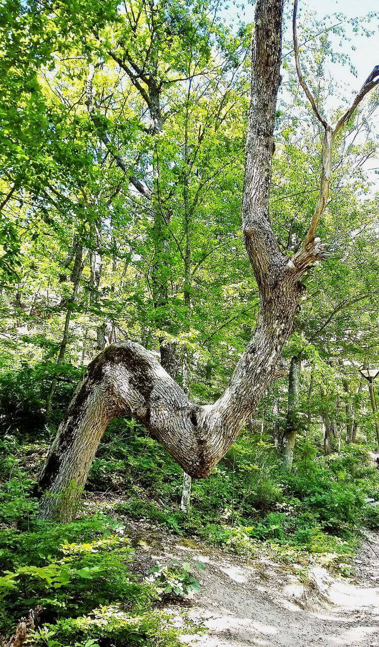 An interesting tree in the Devil's town
